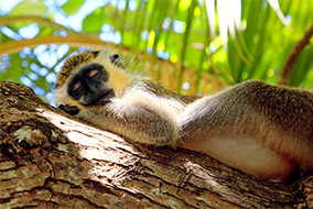 Green monkey sleeping, Barbados