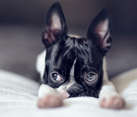 Nailia Schwarz - Boston Terrier Puppy