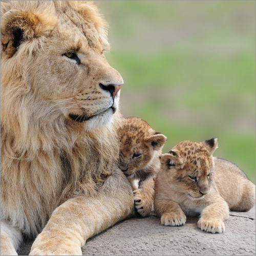 Wall sticker Young lions