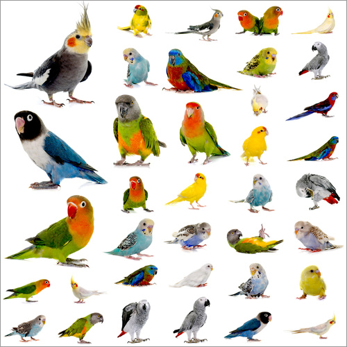 Wall sticker Parrots and parakeets