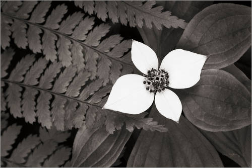 Premium poster Bunchberry and Ferns II