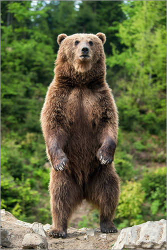 Brown Bear Standing On His Hind Legs Ii Posters And Prints