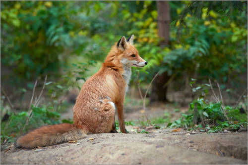 Premium poster Portrait of a red fox
