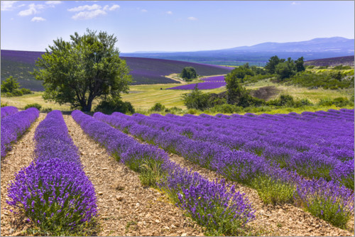 Premium poster Lavender fields of Provence