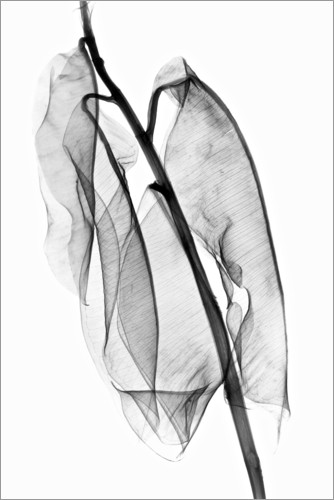 Premium poster Plant leaves, X-ray