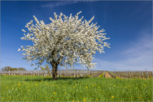 Premium poster Spring dream - blooming cherry tree on flower meadow