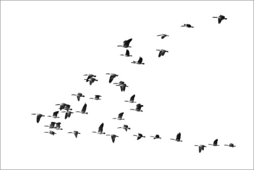 Poster Flight of the geese