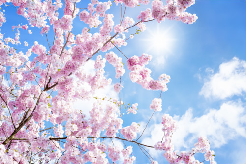 Premium poster Pink cherry blossom in front of blue sky