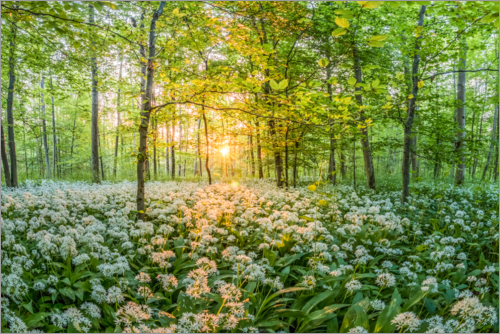 Premium poster Fairytale forest with wild garlic