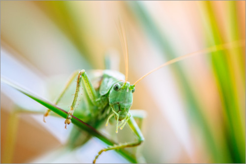 Premium poster Grasshopper on a planze