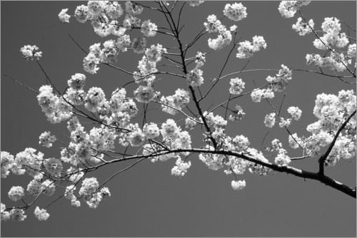 Premium poster Cherry blossom in black and white