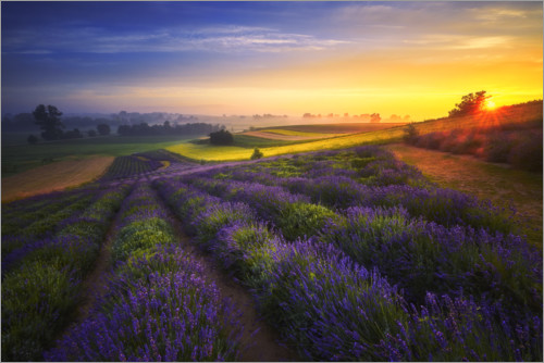Premium poster Sunrise on the lavender field