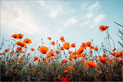 Premium poster Poppy field in front of blue sky