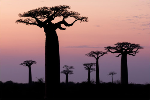 Premium poster Baobab in the evening