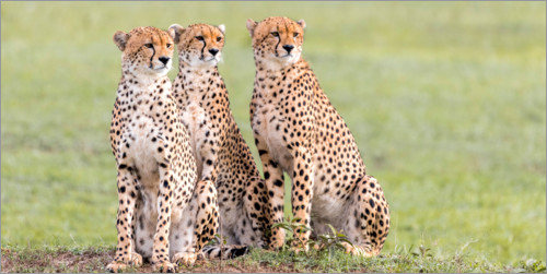 Premium poster Three concentrated cheetahs