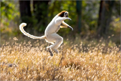 Premium poster Sifaka dances from place to place