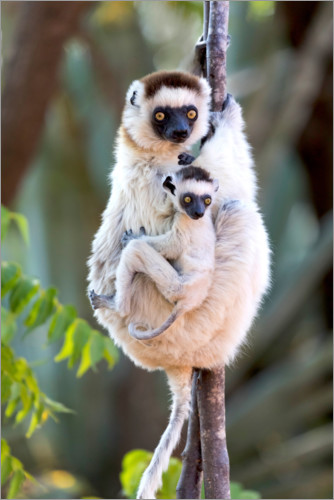 Premium poster Sifaka with her baby