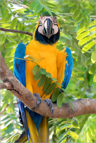 Premium poster Yellow-breasted Macaw on a branch