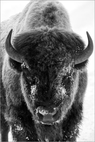 Premium poster Bison bull on a frosty morning