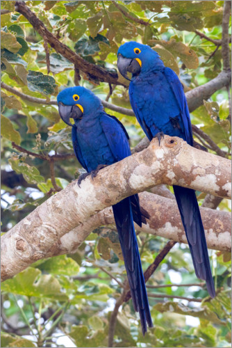 Premium poster Hyacinth macaws in the tree