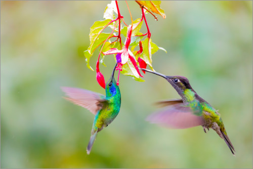 Premium poster Two hummingbirds on a flower