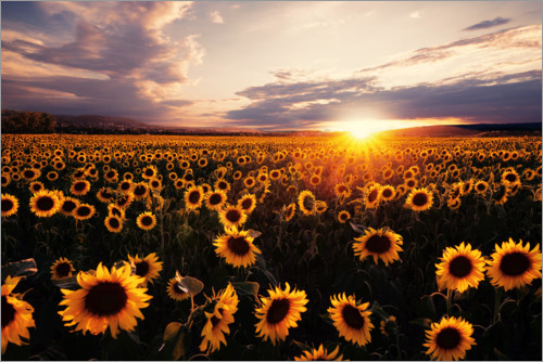 Premium poster Sunflower field with sunset