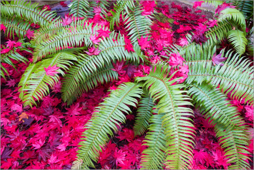 Premium poster Fern with red Japanese maple leaves