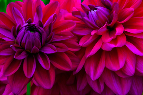 Premium poster Excerpt from the dahlias
