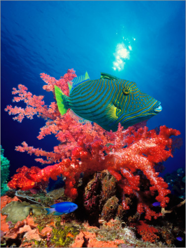 Premium poster Triggerfish and soft coral