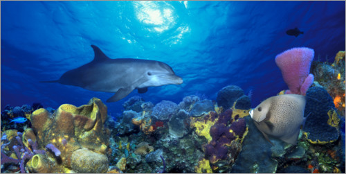 Premium poster Bottlenose dolphin at the coral reef