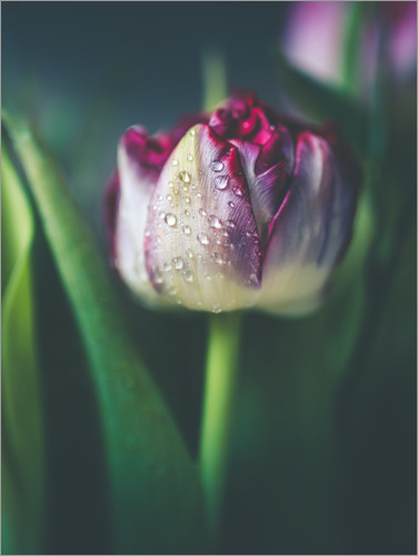 Premium poster Tulip with water drops