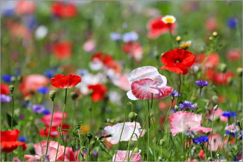 Premium poster Flower meadow with poppies