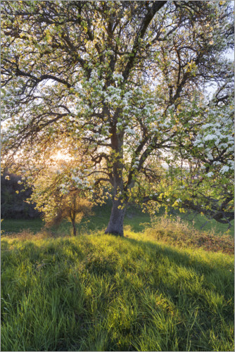 Premium poster Blossoming pear tree in the sunset light