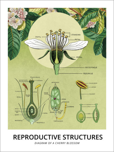 Premium poster Diagram of a cherry blossom