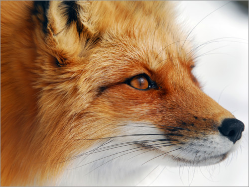Premium poster Profile of a red fox