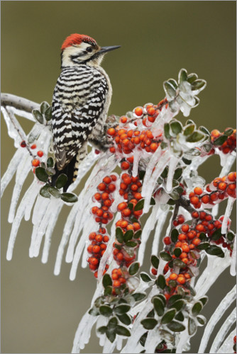 Premium poster Woodpecker on icy branch