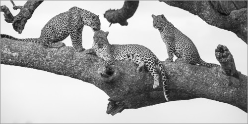 Premium poster Three leopards on a branch