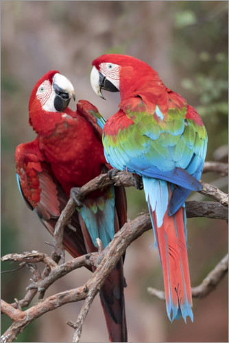 Premium poster A pair of red-green macaws