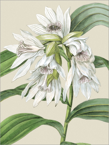 Premium poster Orchid blossom III