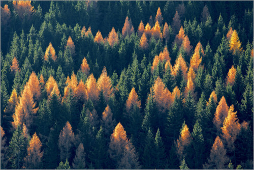 Premium poster Forest with larches and spruces