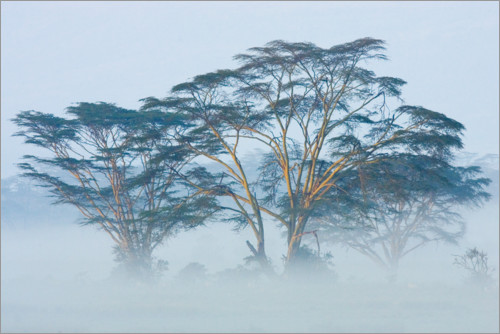Premium poster Acacia trees covered by fog