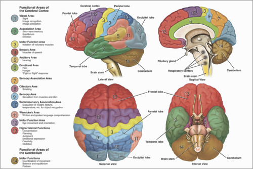 Premium poster The Brain From 4 Perspectives