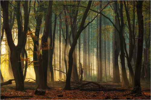 Premium poster First light in the forest