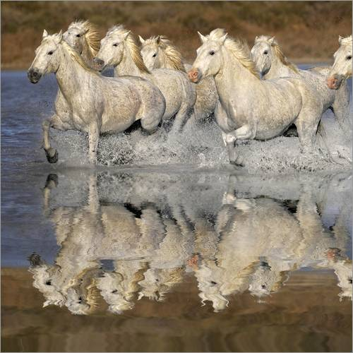 Wall sticker Camargue horses in the water