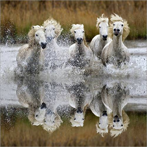 Wall sticker Herd of Camargue horses