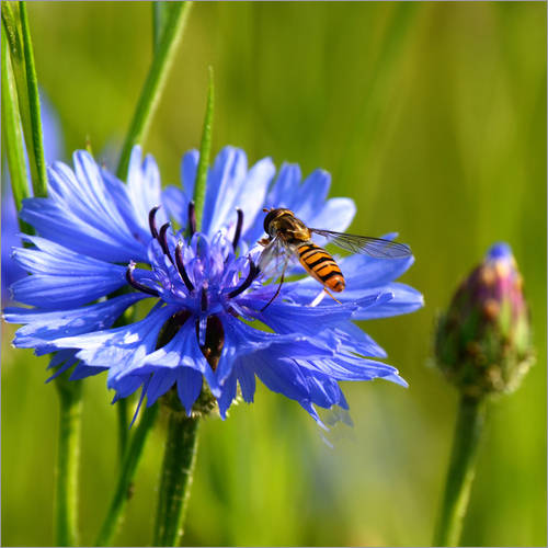 Wall sticker Cornflower with hoverfly