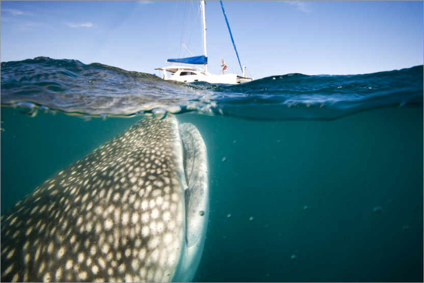 Premium poster Whale shark with a yacht