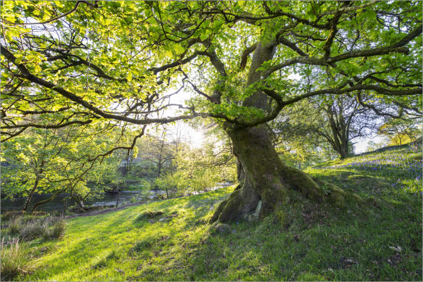 Premium poster Imposing tree in spring with sunlight in England