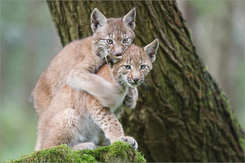 Premium poster Two young lynxes