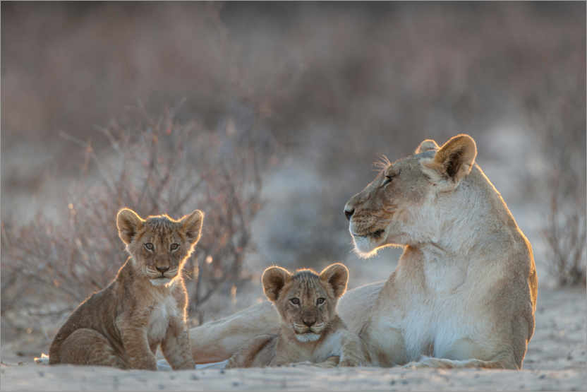 Premium poster Lioness with two cubs